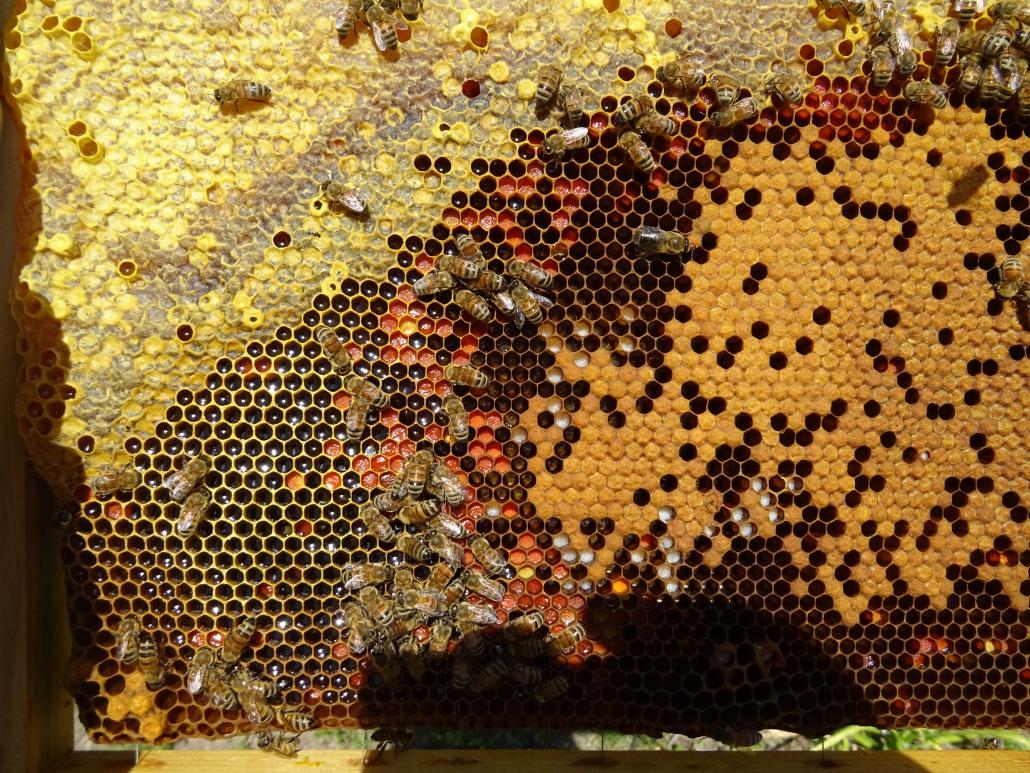 isola-del-giglio-api-miele
